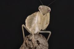 Photina sp. ninfa LX3
