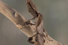 Phyllocrania paradoxa macho adulto