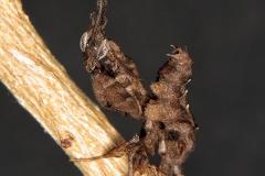 Phyllocrania paradoxa ninfa LX5