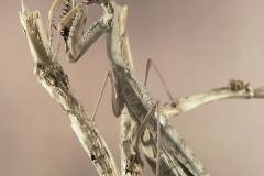 Polyspilota griffinii hembra adulta
