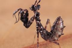 Pseudocreobotra wahlbergii hembra ninfa L2