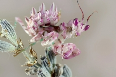 Pseudocreobotra wahlbergii hembra ninfa L5