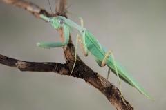 Sphodromantis gastrica macho adulto