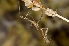 exuvia Empusa pennata ninfa macho