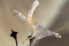exuvia Hymenopus coronatus ninfa macho LX1