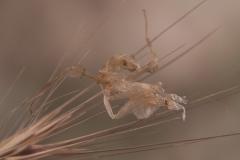 exuvia Idolomantis diabolica ninfa LX3