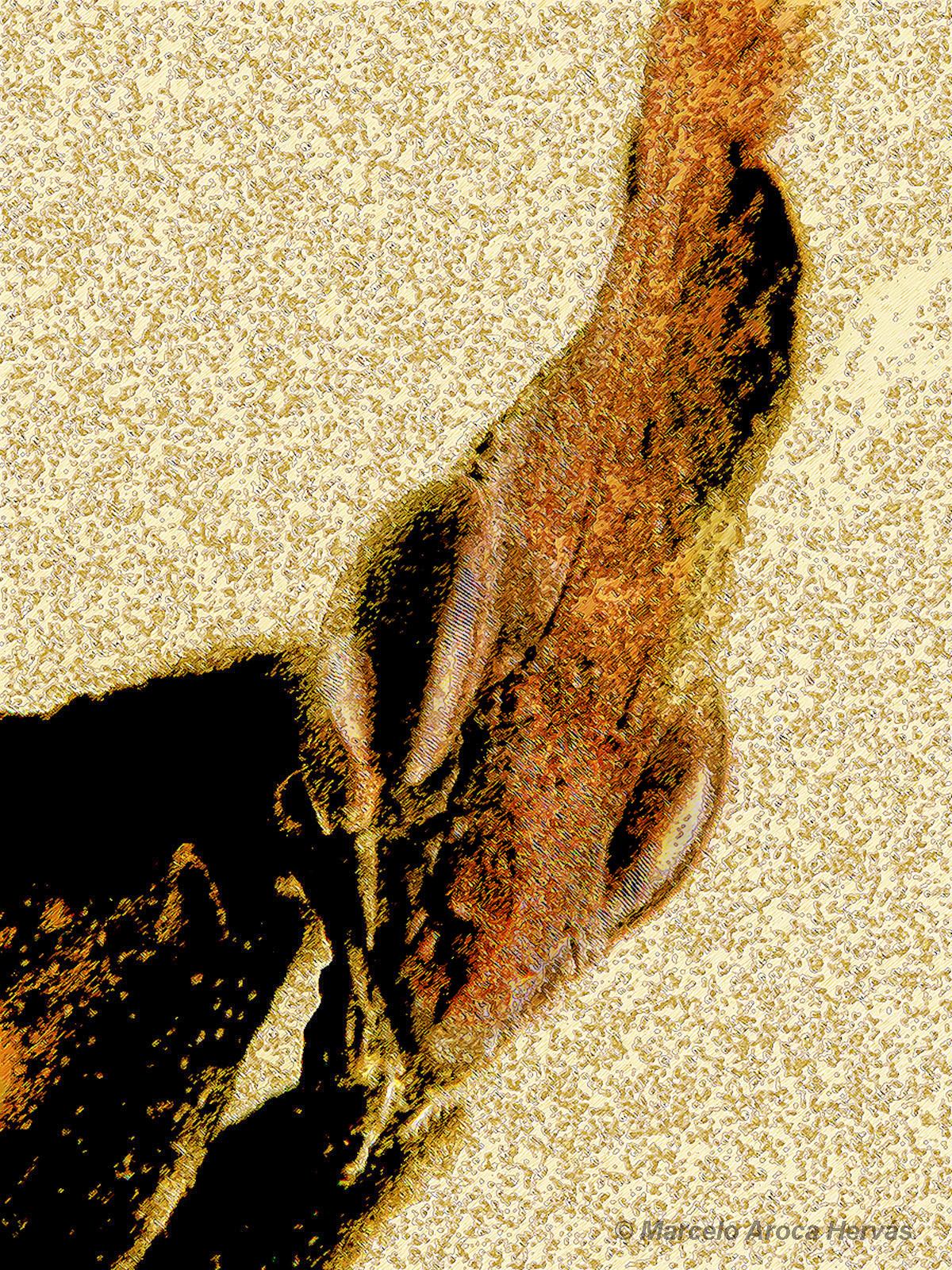 Phyllocrania paradoxa