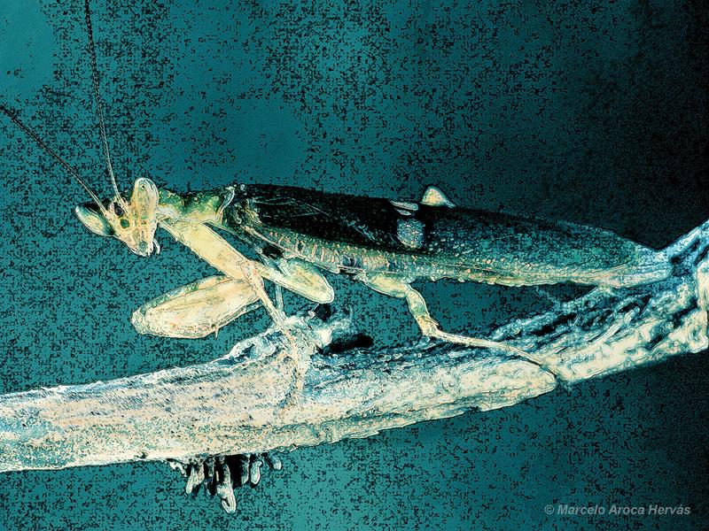 Creobroter gemmatus