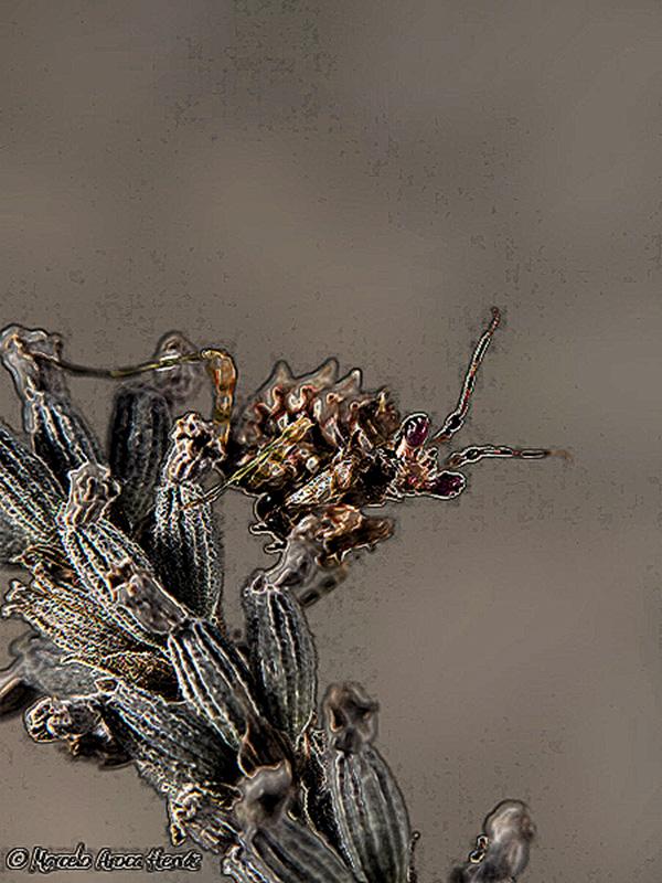 Pseudocreobotra wahlbergii