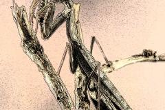 Polyspilota griffinii