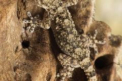 Tarentola mauritanica juvenil