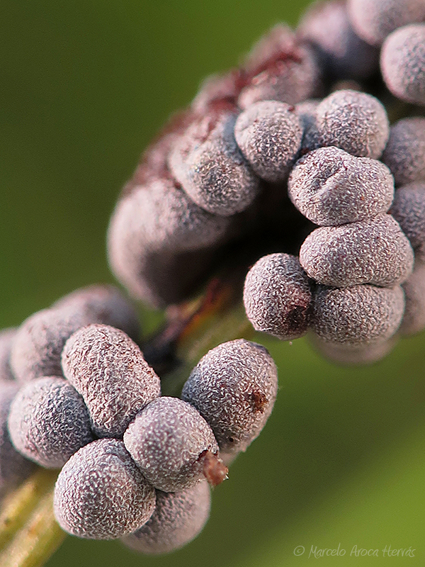 Badhamia foliicola