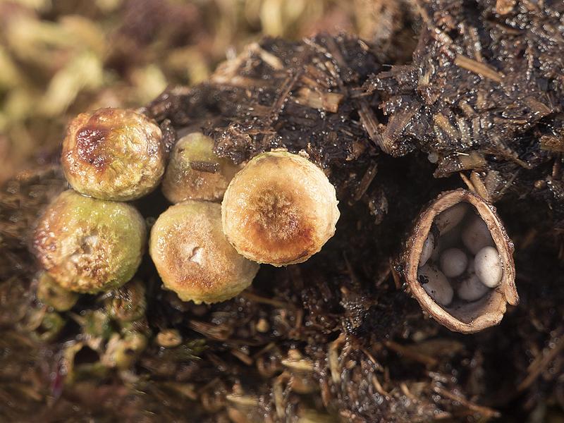 Crucibulum laeve