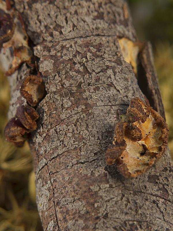 Eichleriella leucophaea
