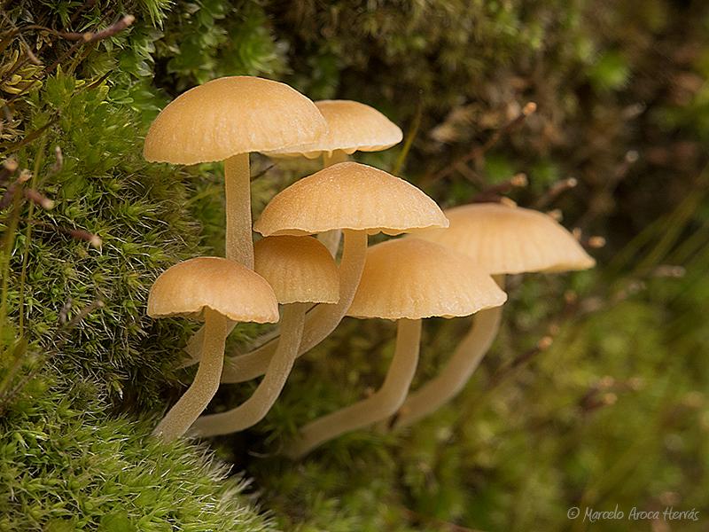 Galerina graminea (Galerina laevis)