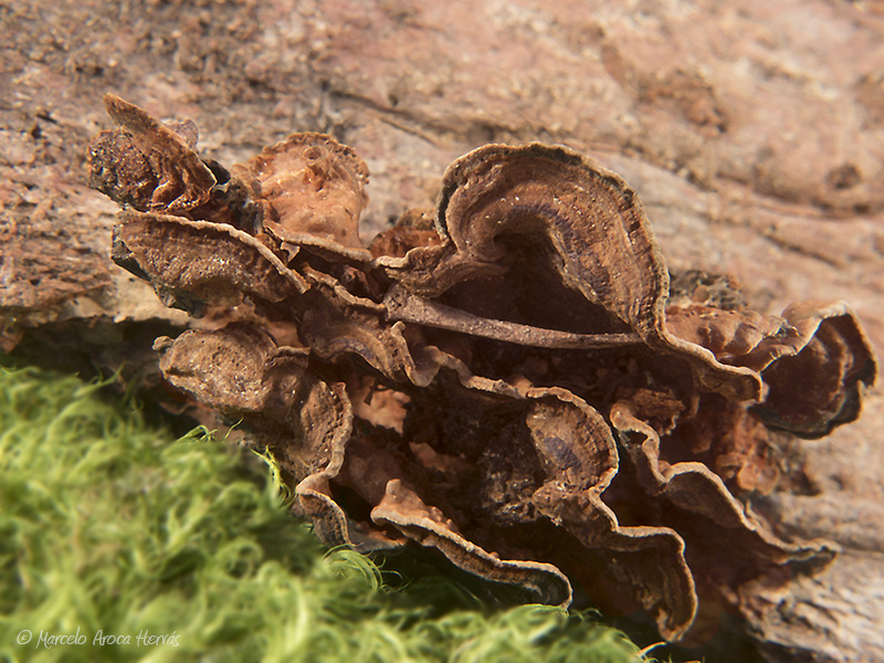 Hymenochaete rubiginosa