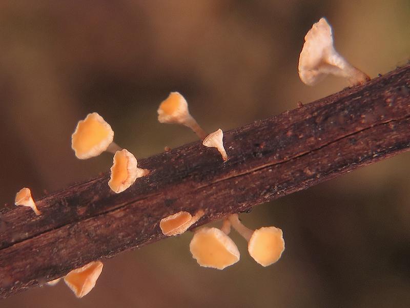 Hymenoscyphus sp.