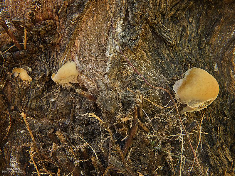 Inocutis tamaricis (Inonotus tamaricis)