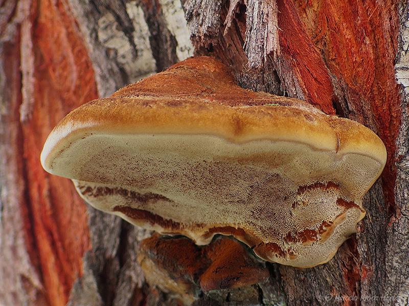 Inonotus tamaricis