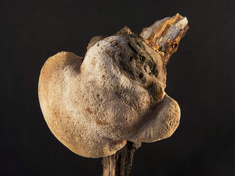 Phellinus pomaceus