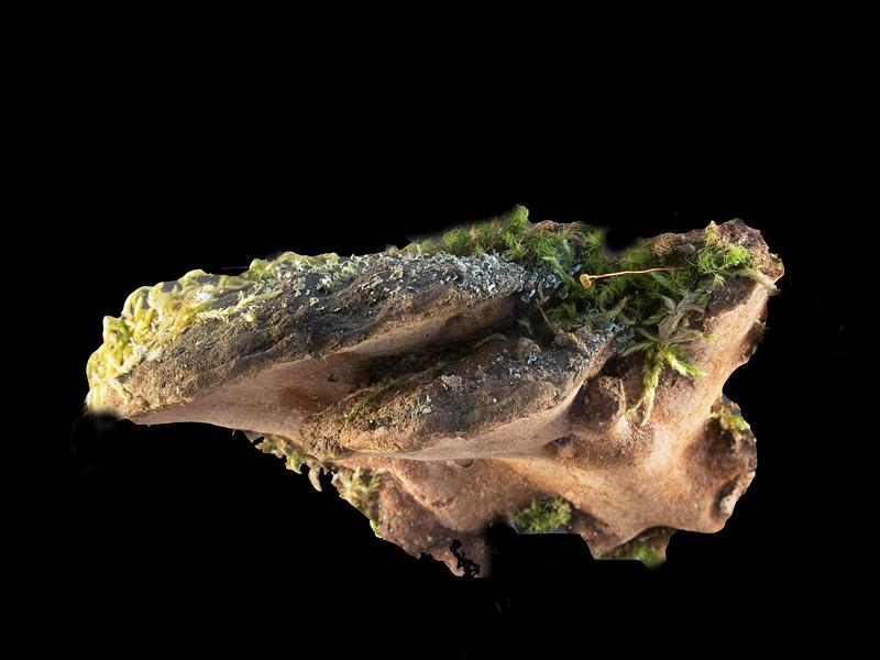 Phellinus torulosus