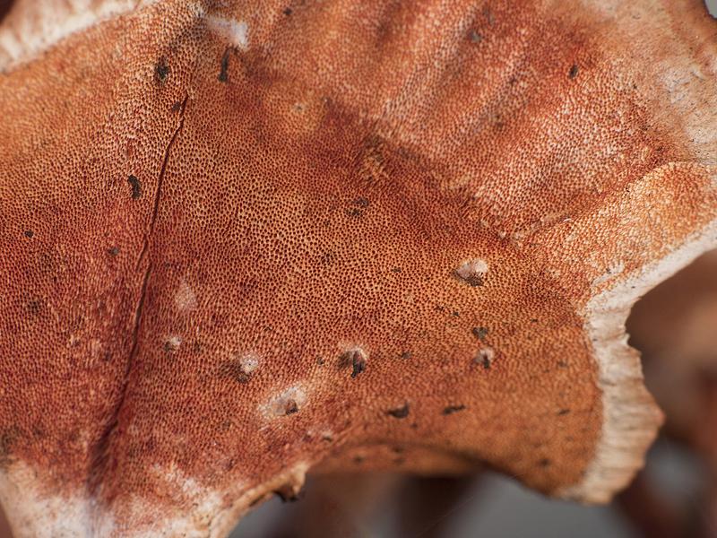 Pycnoporus sanguineus