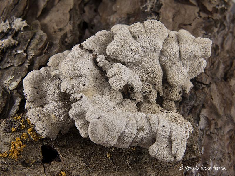 Schyzophyllum commune