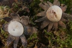 Astraeus hygrometricus