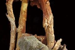 Battarrea phalloides