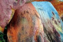 Boletus comptus