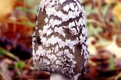 Coprinopsis picacea