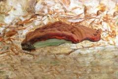 Ganoderma lucidum (cultivo)