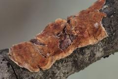 Hymenochaete tabacina