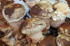 Lentinula edodes (Shiitake) cultivo