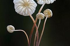 Marasmius epiphyllus