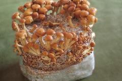 Pholiota nameko (cultivo)
