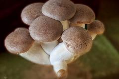 Pleurotus eryngii (cultivo)