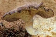 Pleurotus ostreatus (cultivo)