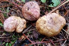 Rhizopogon roseolus