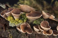 Schizophyllum amplum