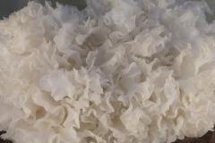 Tremella fuciformis (cultivo)