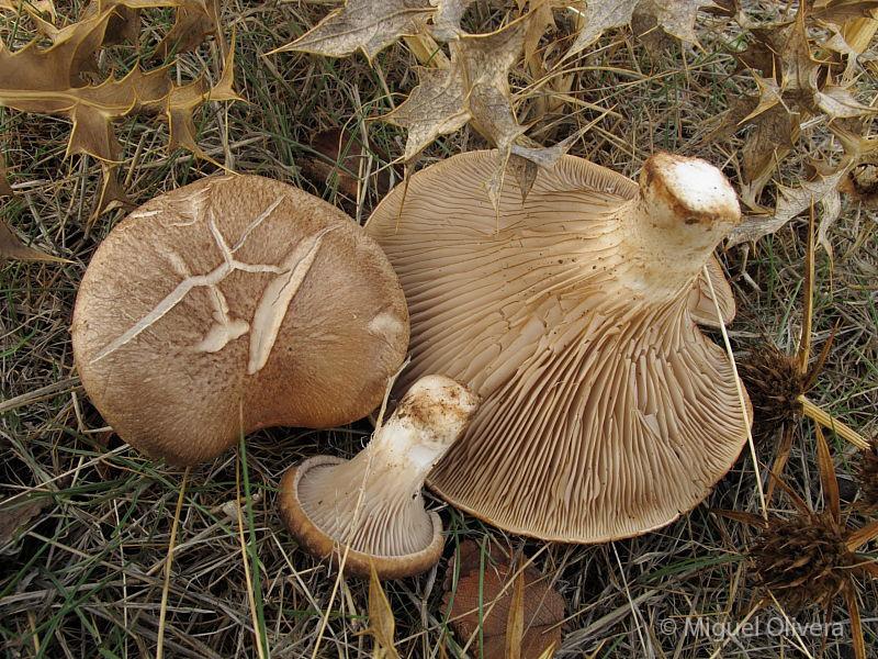 Pleurotus-eryngii-2-miguel.jpg