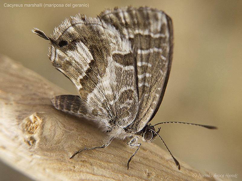 Cacyreus-marshalli-mariposa-del-geranio-1.jpg